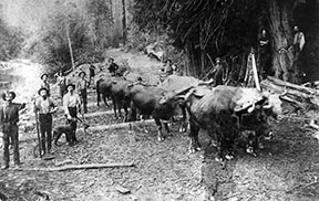 PO-40-264- Oxen logging at Snoqualmie Mill Company Slough- 1891- Mills Snoqualmie Mill Co