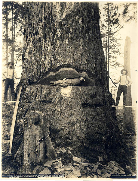 PO 804 3 Three men cutting huge tree with hand saws and axes Kinsey 1906 Logging hand Merged